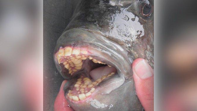 Рыба с человеческими зубами - новый монстр в Зеленограде