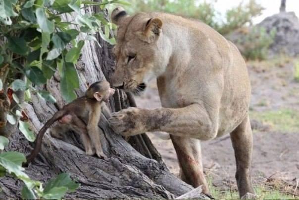 Гуманный поступок львицы поразил фотографов