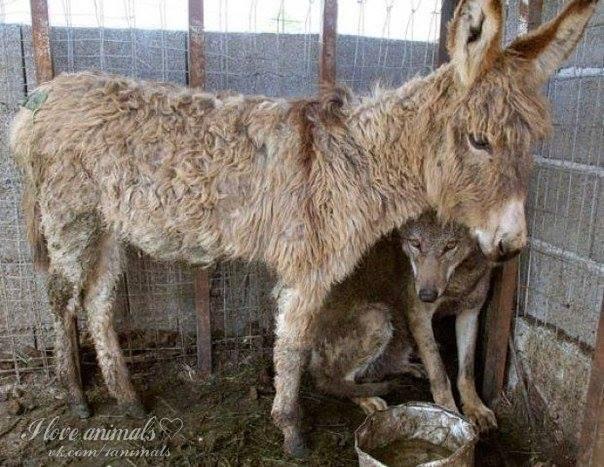 Чтобы накормить пойманного волка, хозяева посадили к нему в клетку старого ослика