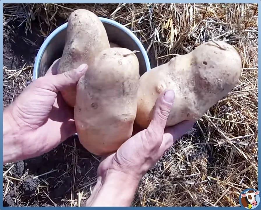 Как собирать по ведру картошки с каждого куста