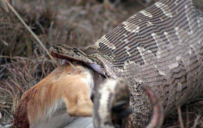 То, что жители деревни нашли внутри гигантской змеи заставляет содрогнуться…