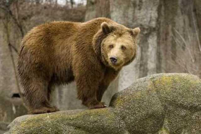 Медведь сломал мужчине позвоночник и отнёс в берлогу