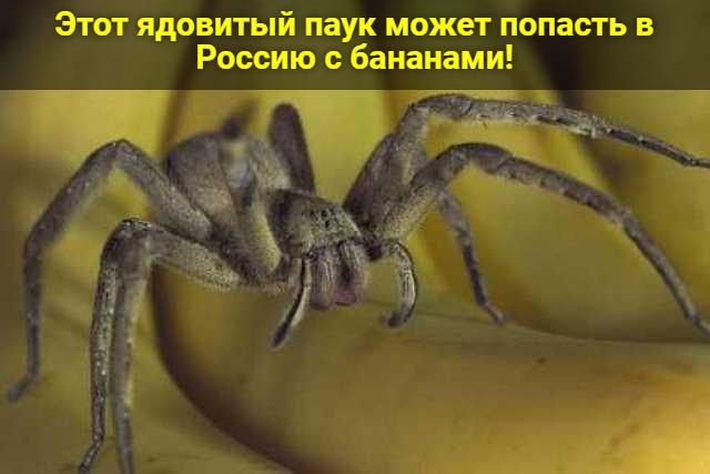 Этот ядовитый паук может попасть в Россию с бананами