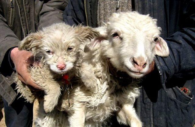 В Китае овца родила собаку (ФОТО)