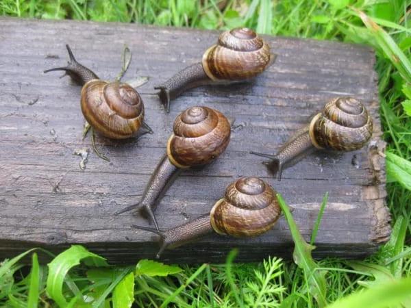 Как избавиться от улиток в огороде: 4 лучших способа