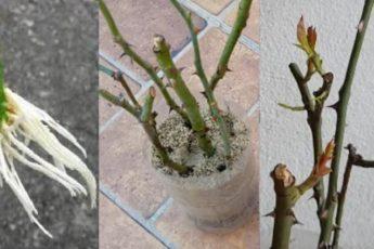 Как за 5 дней можно получить много саженцев роз для своего участка