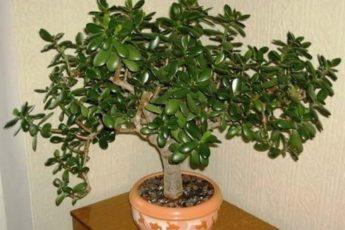 Очень многие выращивают у себя «Денежное Дерево»: «так вот, знайте, что вы …»