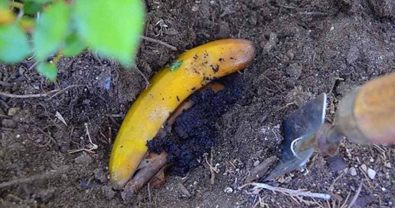 Как-то на своем огороде разложила банановые шкурки от муравьев. Уже не вижу их 3 года