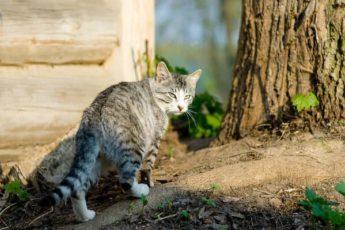 К чему кот или кошка уходят внезапно из дома