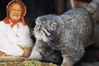 Бабушка приютила котенка, даже не догадываясь, что это опаснейший хищник – и однажды его час настал